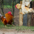 Two cocks in fight — Foto de Stock