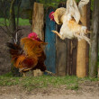 Two fighting roosters — Stock Photo