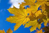 Foglie di acero autunno — Foto Stock