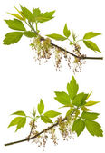 Branches of blooming ash-leaved maple — Stock Photo