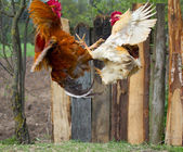 Cocks fighting in fly — Stock Photo