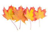 Maple Herfstbladeren — Stockfoto