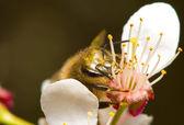 Honeybee pollinating flowers — Stock Photo