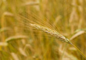 Close-up ear of rye — Stock Photo