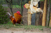 Two cocks in fight — Stock Photo