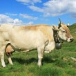 Cow in alps — Stock Photo