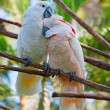Lovebirds - Stock Photo