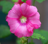 Malva (Alcea rosea hollyhock) flower — Stock Photo