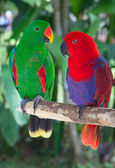 Pair of lori parrots — Stock Photo