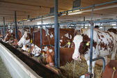 Swiss cow farm — Foto de Stock