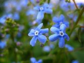 Blue flowers — Stock Photo