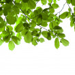 Green branch isolated — Stockfoto