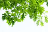 Branche verte isolé — Photo