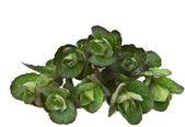 Medicinal grass - mint. — Stock Photo