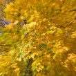 Golden maple with zoom effect — Stock Photo