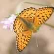 Small orange butterfly on pink flower — Stock Photo