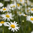 White chamomile field — Stock Photo