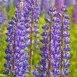 Стоковое фото: Lupine flowers in green grass