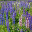 Light and dark lupines - Stock Photo