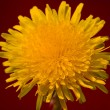 Yellow dandelion on red background — Stock Photo