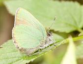 Cobre-mariposa verde pequeña — Foto de Stock