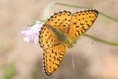 Kleine oranje vlinder op roze bloem — Foto de Stock