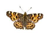 Mariposa del mapa en blanco — Foto de Stock