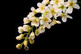 Rama de la flor blanca sobre fondo negro — Foto de Stock