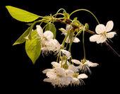 Cherry-tree flowers on black — Stock Photo