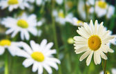 Single chamomile flower — Stock Photo