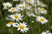 White chamomile field — Stock Photo