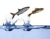 Two small fishes jumping — Stock Photo