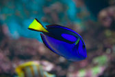 Blue and yellow fish on dark — Foto Stock