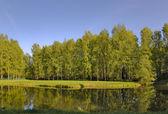 Birch forest near pond — Stock Photo