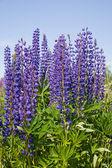 Violet lupin bush — Stock Photo