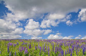 Lupin field under sky with clouds — Stock Photo