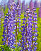 Lupine flowers in green grass — Stock fotografie