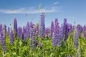 Paarse lupine bloemen — Stockfoto