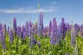 Viola fiori di lupini — Foto Stock