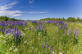 Lilac lupine field — Stock Photo