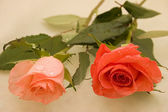 Two beautiful orange roses — Стоковое фото