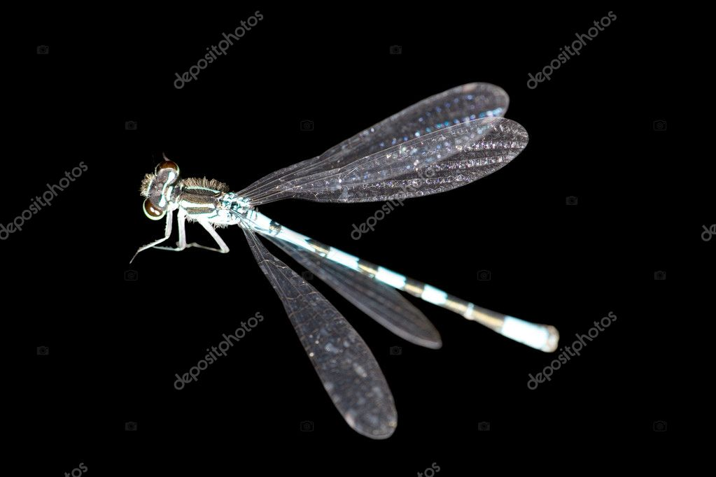 Small blue dragonfly isolated on black background  Stock Photo #6260159
