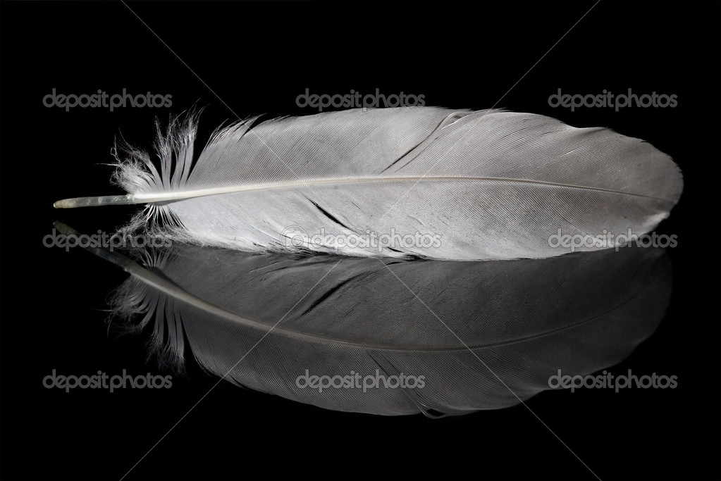 Pigeon feather and its reflection isolated on black background — Stock Photo #6260173