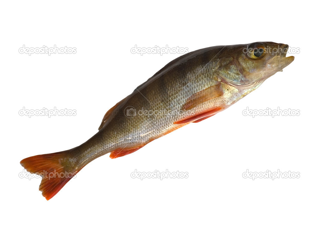 The small perch isolated on white background — Stock Photo #6260209