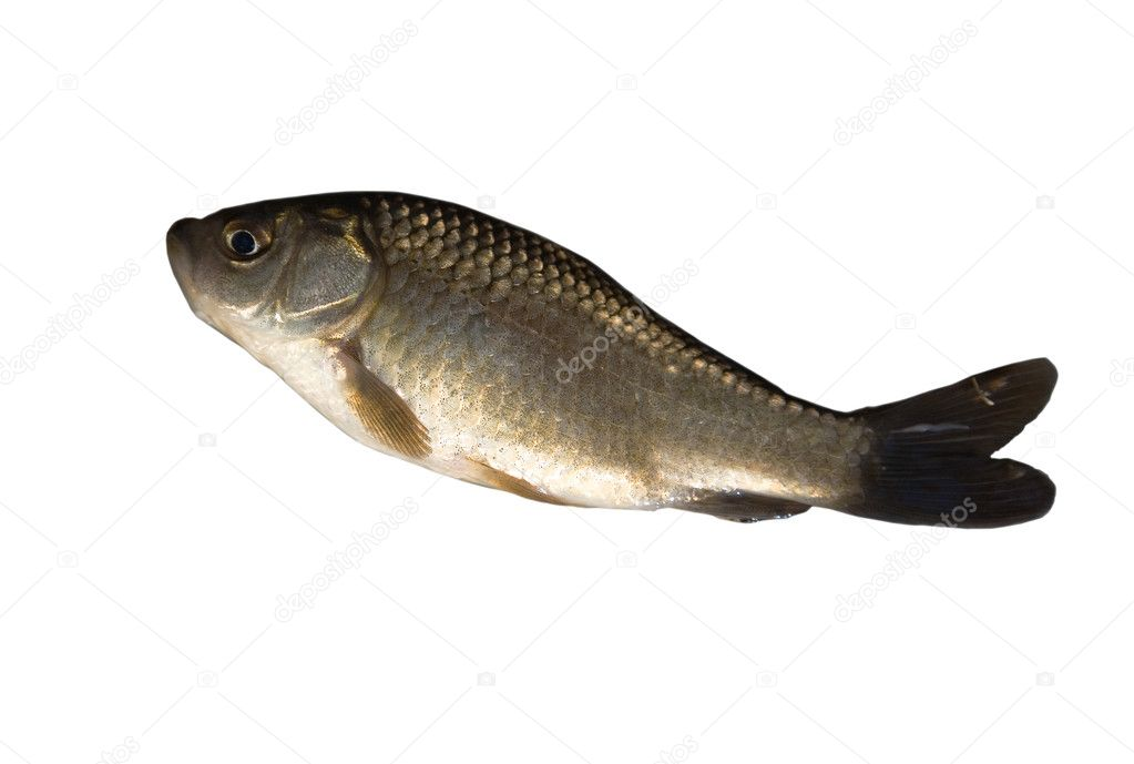 The crucian carp isolated on white background — Stock Photo #6260213