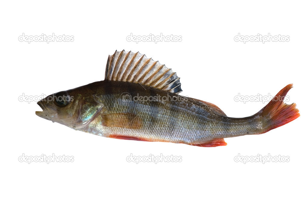 The small perch isolated on white background — Stock Photo #6260216