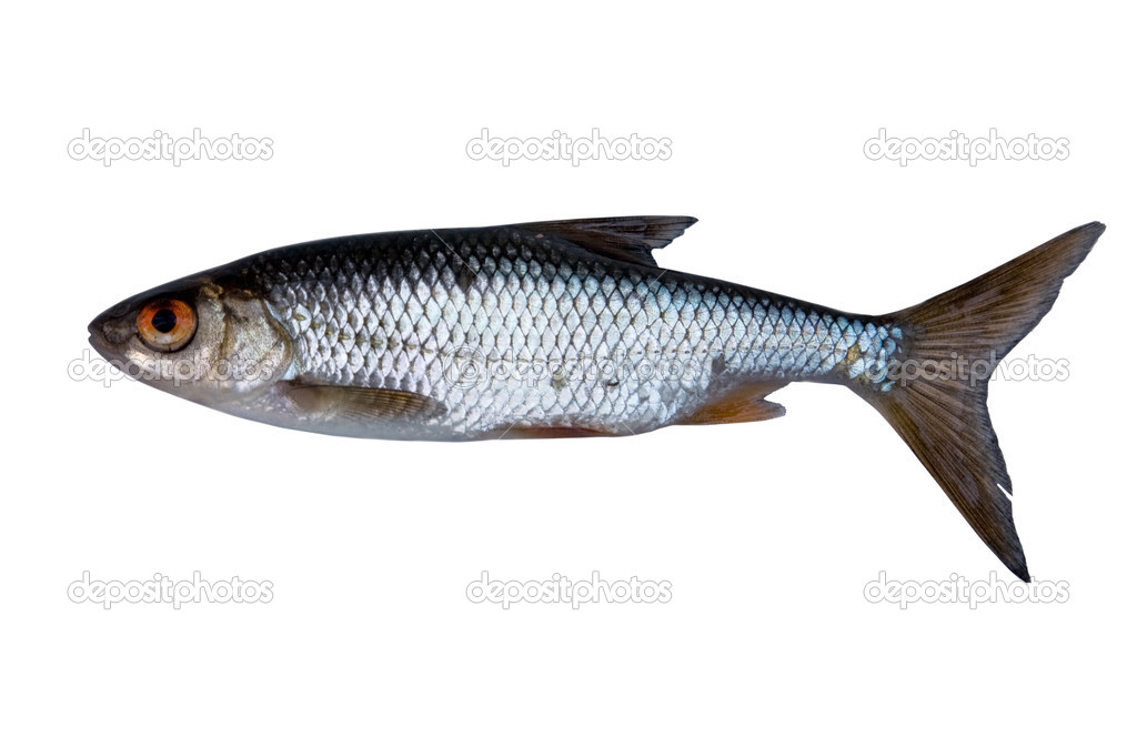 Single roach fish isolated on white background — Stock Photo #6260226