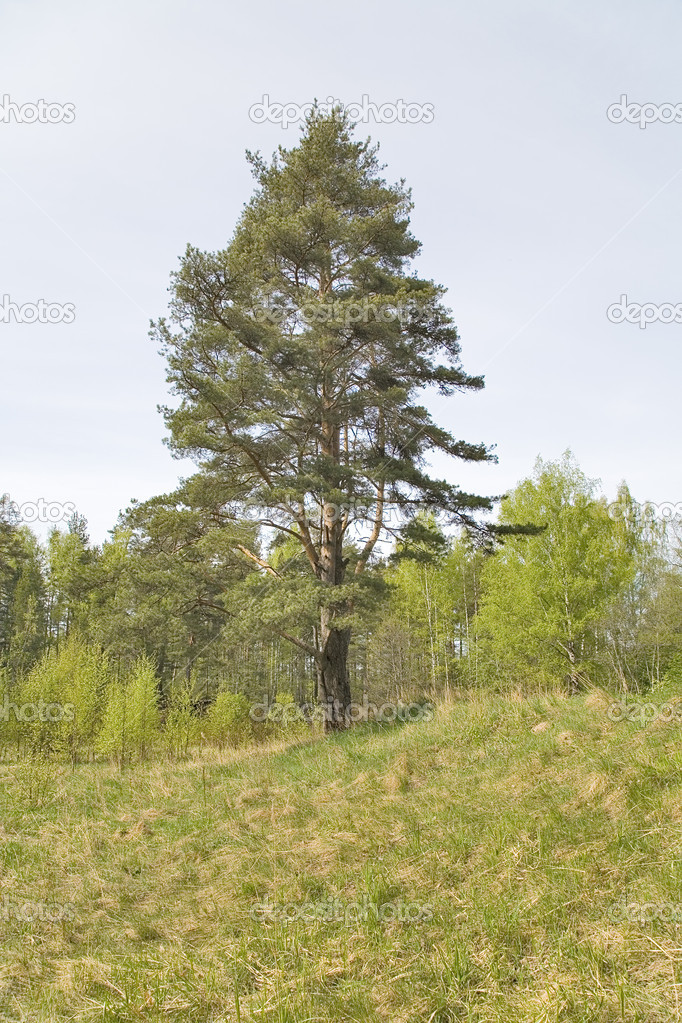 Single pine on the meadow under sky — Stock Photo #6260462