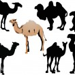 Seven camels isolated on white — Stock Vector #6327480
