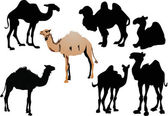 Seven camels isolated on white — Stock Vector